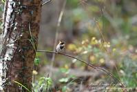 落ち葉とミヤマホオジロ - フォト エチュード  Photo-Etudes