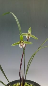 紫秀蘭優秀花 - DREAM GRASSES