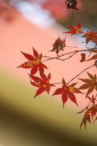 葉や枝等が気に入った紅葉 - tokoのblog