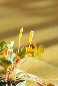 11/29名月らしい黄色のオキザリス - 「あなたに似た花。」