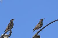 初見・初撮りホシムクドリ - 野鳥公園