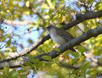 あったかすぎで冬鳥が少ないー - ぶらり探鳥