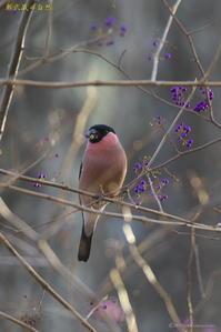 冬鳥Ⅶ号<アカウソ> - 奥武蔵の自然