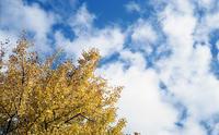 秋の銀杏 - またいつか旅に出る