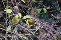 今日もムラサキシキブに集います♪ - 鳥と共に日々是好日