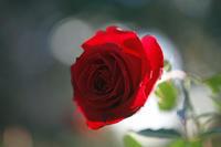 今日の旧古河庭園まだ秋薔薇が元気です。 - みるはな写真くらぶ
