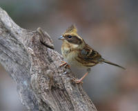 秋の終わりに...ミヤマホウジロ♀ - 野鳥...四季折々