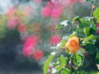 敷島公園バラ園8 - 光の音色を聞きながら Ⅳ