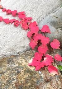 モミジツタ - 赤煉瓦洋館の雅茶子