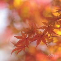 紅葉 - やわらかな光