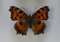 初めての展翅 - 呑むさん蝶日記
