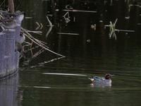 谷津干潟の野鳥(コガモ、ヒドリガモ、コサギ、イソシギ)、そしてハンノキ - 花と葉っぱ
