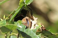ルーミスシジミムラサキ3兄弟の同衾 - 蝶のいる風景blog