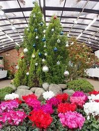 はじまりました!「シクラメン展」! - 手柄山温室植物園ブログ 『山の上から花だより』