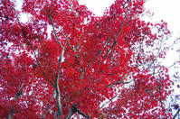 昭和記念公園紅葉5 - 生きる。撮る。