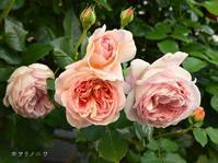 何色でもない薔薇 - カヲリノニワ