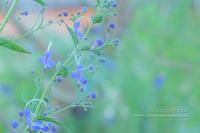 こぼれてく季節**小さな庭の花の物語 - きまぐれ*風音・・kanon・・