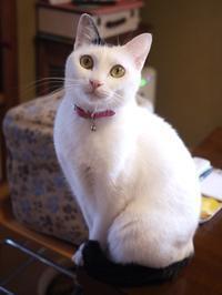 猫のお留守番 たらくん編。 - ゆきねこ猫家族