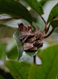 ムラサキツバメシジミ他12月2日 - 超蝶
