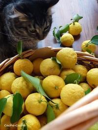 庭の柚子とレモンの収穫♪ - Cache-Cache+