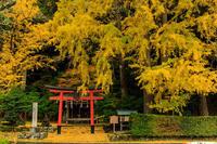 京の紅葉2018銀杏の絨毯(岩戸落葉神社) - 花景色-K.W.C. PhotoBlog