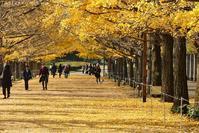 国営昭和記念公園 #1 銀杏 - T O K I B A K O