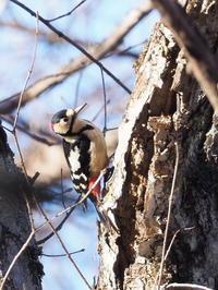 冬枯れの林にアカゲラが飛来 - コーヒー党の野鳥と自然 パート2