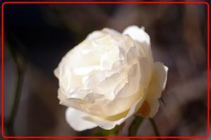 早朝周辺ウオーキングシリーズ・うちのバラ2日 - えいじのフォト徒然日記