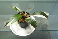 "Homalomena sp. 'Variegatus' ""Sibu Sarawak"" - PlantsCade -2nd effort"
