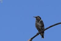 ホシムクドリ大トリミング - 野鳥公園