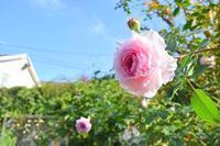 12月になりました。 - 元木はるみのバラとハーブのある暮らし・Salon de Roses