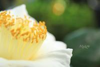 白椿 - Aruku