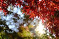 喜多院の紅葉 - 空を見上げて