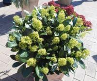 プチプチした見た目がかわいいシキミア - 神戸布引ハーブ園 ハーブガイド ハーブ花ごよみ
