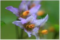 ワルナスビの花 - ハチミツの海を渡る風の音