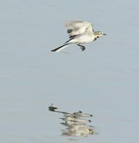 ハクセキレイflying集《PartⅡ》 - zorbaの野鳥写真と日記
