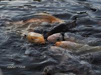 鯉は踏み台 - 瞳の記憶