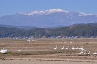 栗駒山と白鳥 - 栗駒山の里だより