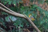 枝どまりの鳥さんたち - 鳥と共に日々是好日