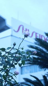 資生堂の薔薇、少しさいています。 - 写真で楽しんでます!