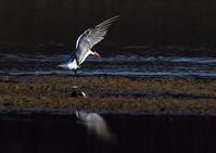 オニアジサシは、日本のアジサシ類では最大 - THE LIFE OF BIRDS ー 野鳥つれづれ記