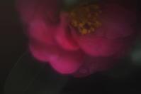 山茶花(3cut) -     ~風に乗って~    Present