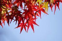 大阪城の紅葉(2)@2018-11-25 - (新)トラちゃん&ちー・明日葉 観察日記