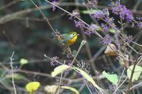 今季初撮りのソウシチョウ - 近隣の野鳥を探して