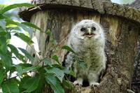 フクロウ(4) - 銀狐の鳥見