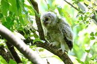フクロウ(5) - 銀狐の鳥見
