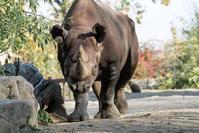 クロサイ5頭がヨーロッパの動物園からルワンダの国立公園へ! - ごきげんよう 犀たち