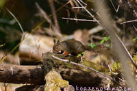 森のニホンリス - 気ままな生き物撮り