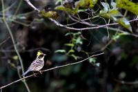 ミヤマホオジロ - Bird Healing