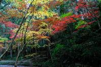 小國神社紅葉#3 - 長い木の橋